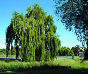 Blackmans Swamp trees