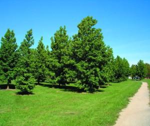 Blackmans Swamp trees2