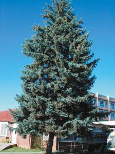 blue-spruce_orange-base