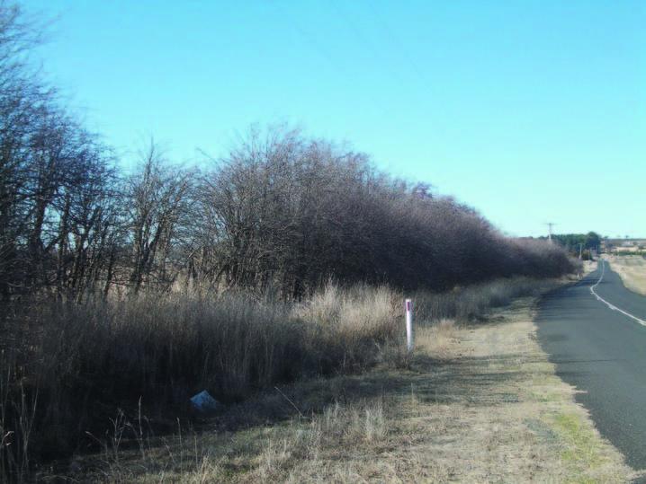 Example of Hawthorn windbreak near Spring Hill
