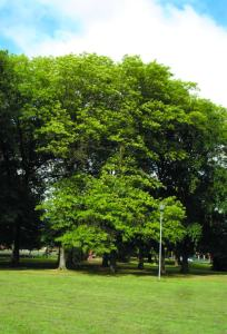 Pin Oak Newman Park1