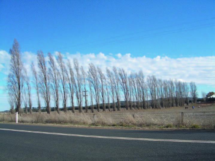 Poplars as a windbreak