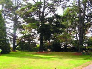 Radiata Pine gelnroi