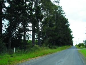 Radiata Pine gelnroi2