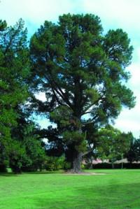 Radiata Pine-Newman Park
