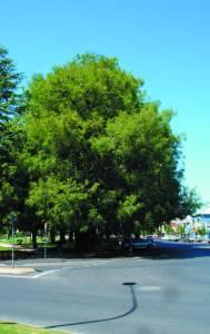 swamp cypress_summer