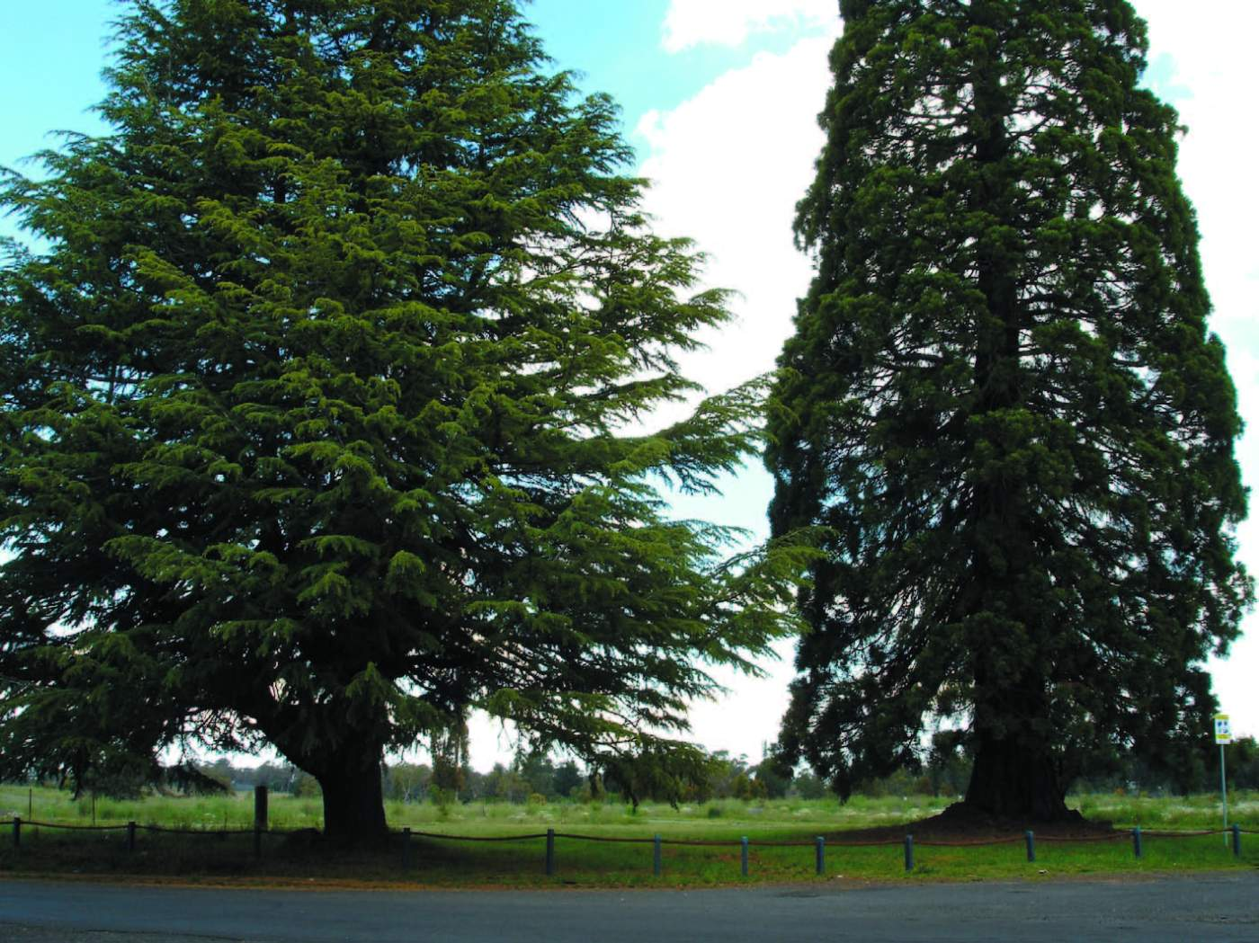 The broad canopy of Cedar (left), contrasts to the narrow upright form of the Giant Sequoia (right).