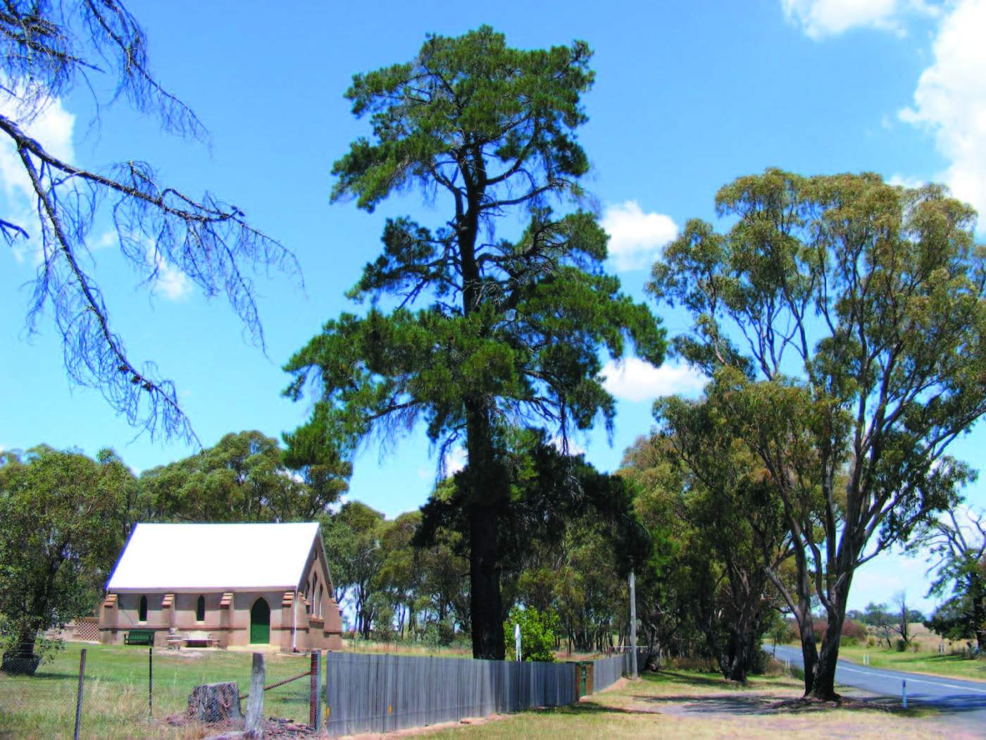Pinus radiata (left) and a Eucalyptus viminalis (right)
