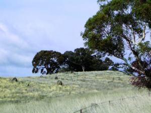 remnant Box vegetation